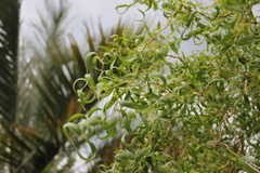 Curly Willow leaves
