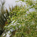 Curly Willow leaves.JPG