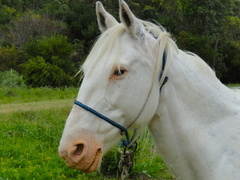 a happy white horse