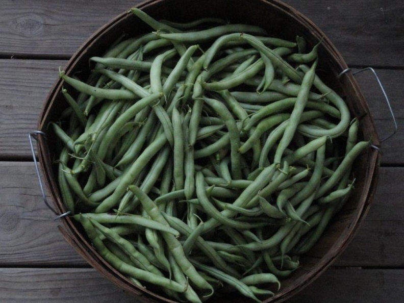 Greenbean-Harvest-2011-001