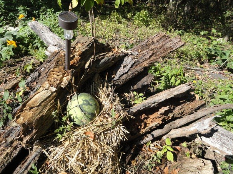 Organic-Watermellon-Patch-2011-005