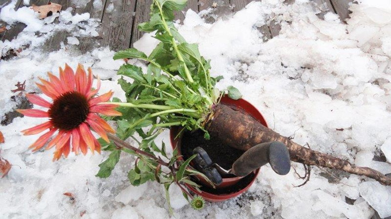 Turnip-Echinacea-December-2011