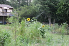 New-Apple-Tree-and-Sunflowers